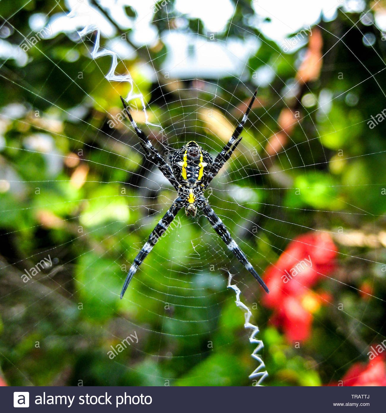 Yellow Garden Spider underside in its web against a tropical 1300x1390
