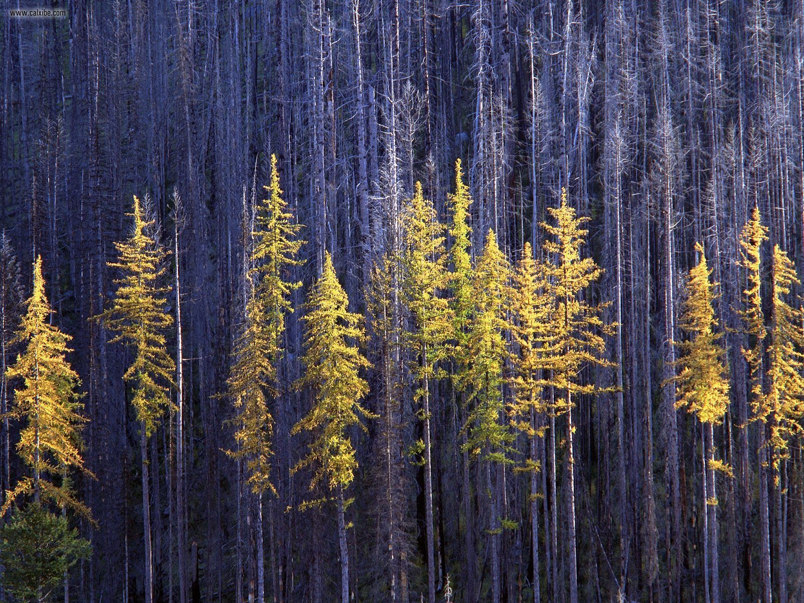 View Autumn Larch Trees Colville National Forest Washington in full 1600x1200