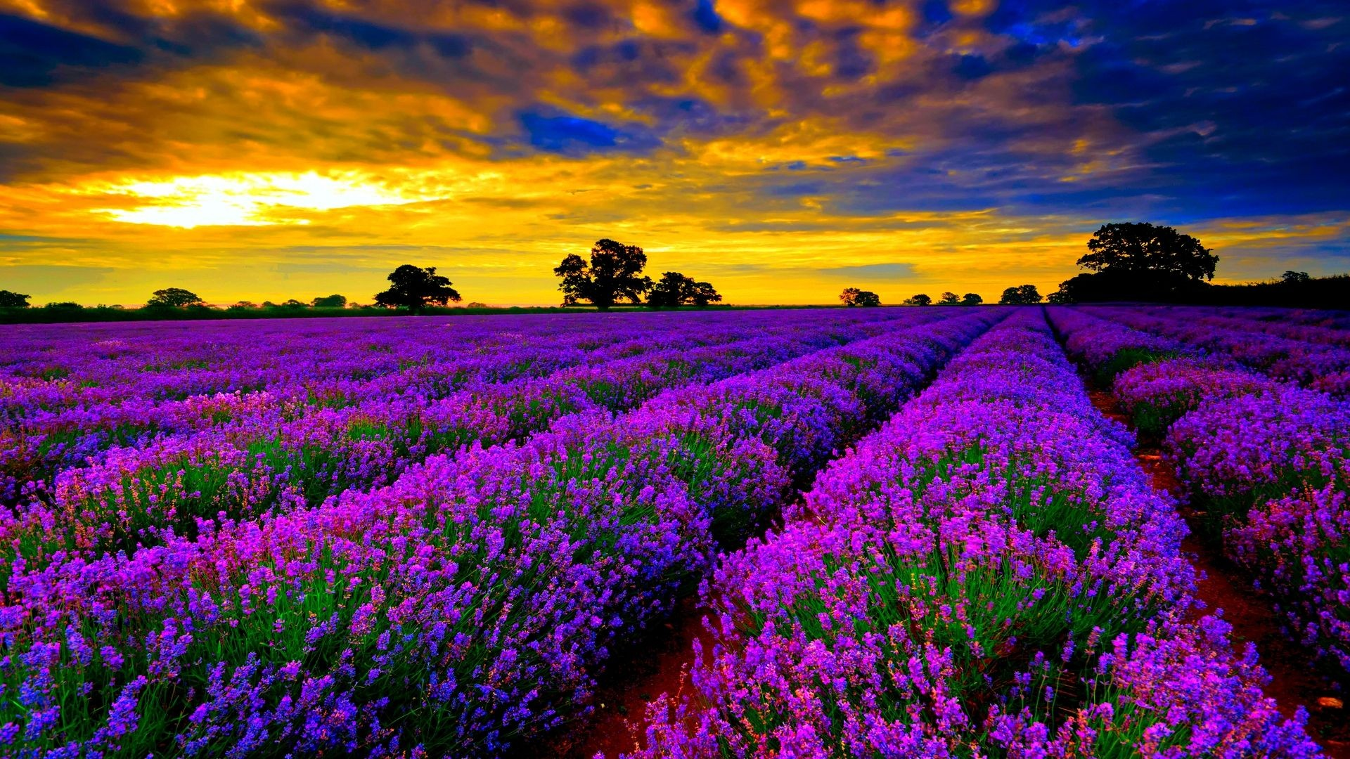 Most Beautiful Field Of Lavender Flowers Widescreen Desktop 1920x1080