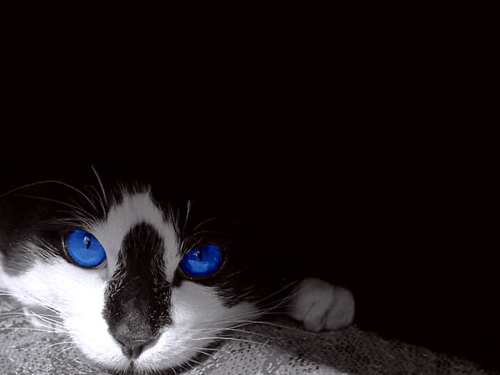100 [ Black White Cat Wallpaper ] Hd Cat Wallpapers Eyes 1600x1200