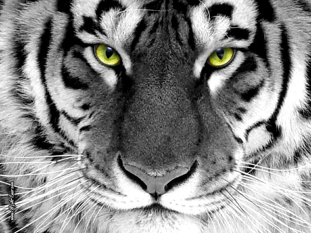 Tigers images Tiger Wallpaper HD wallpaper and background 1024x768