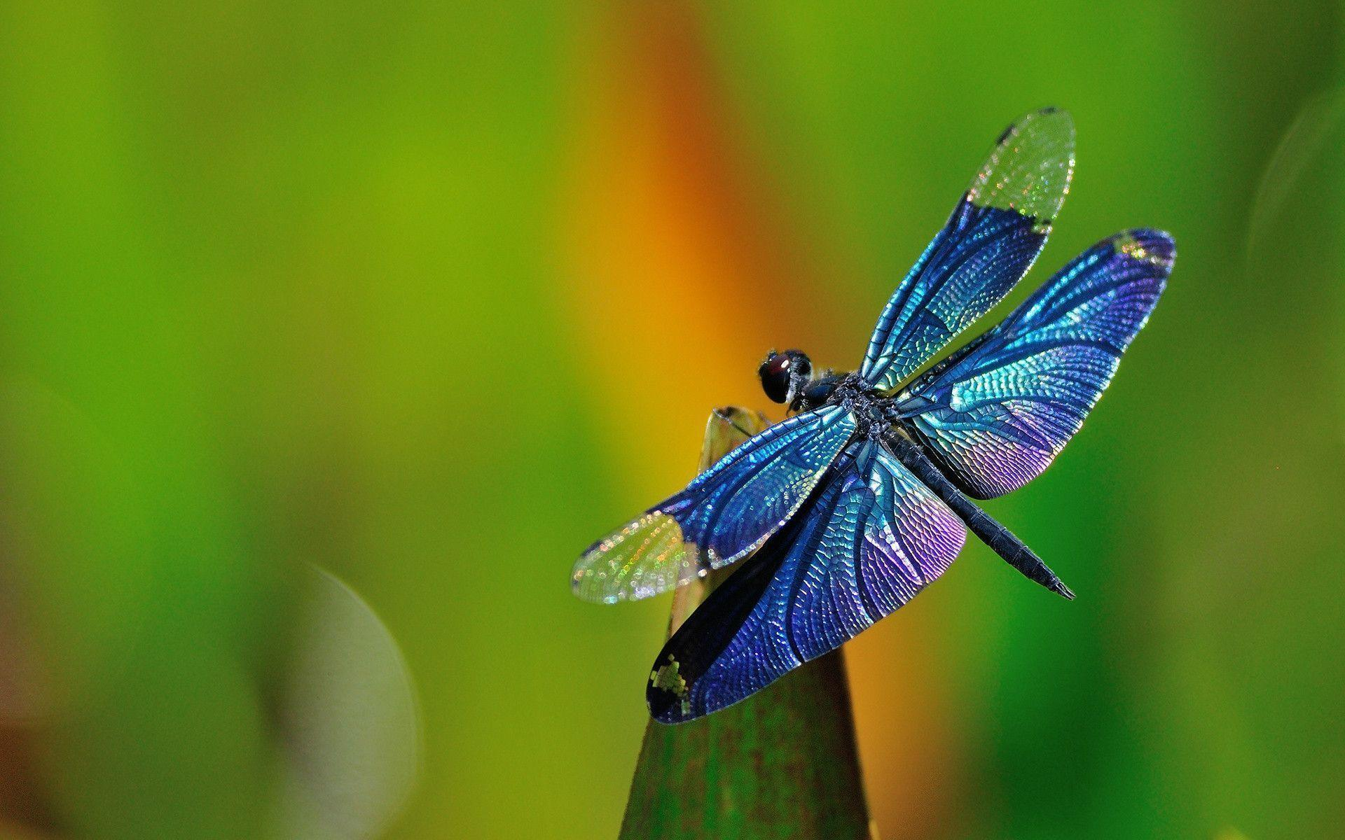 Dragonfly Wallpapers 1920x1200