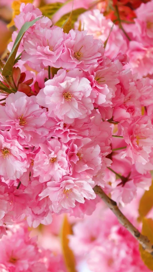Temporary Wallpaper Sakura 4K Hd Wallpaper Cherry Blossom Pink 640x1138