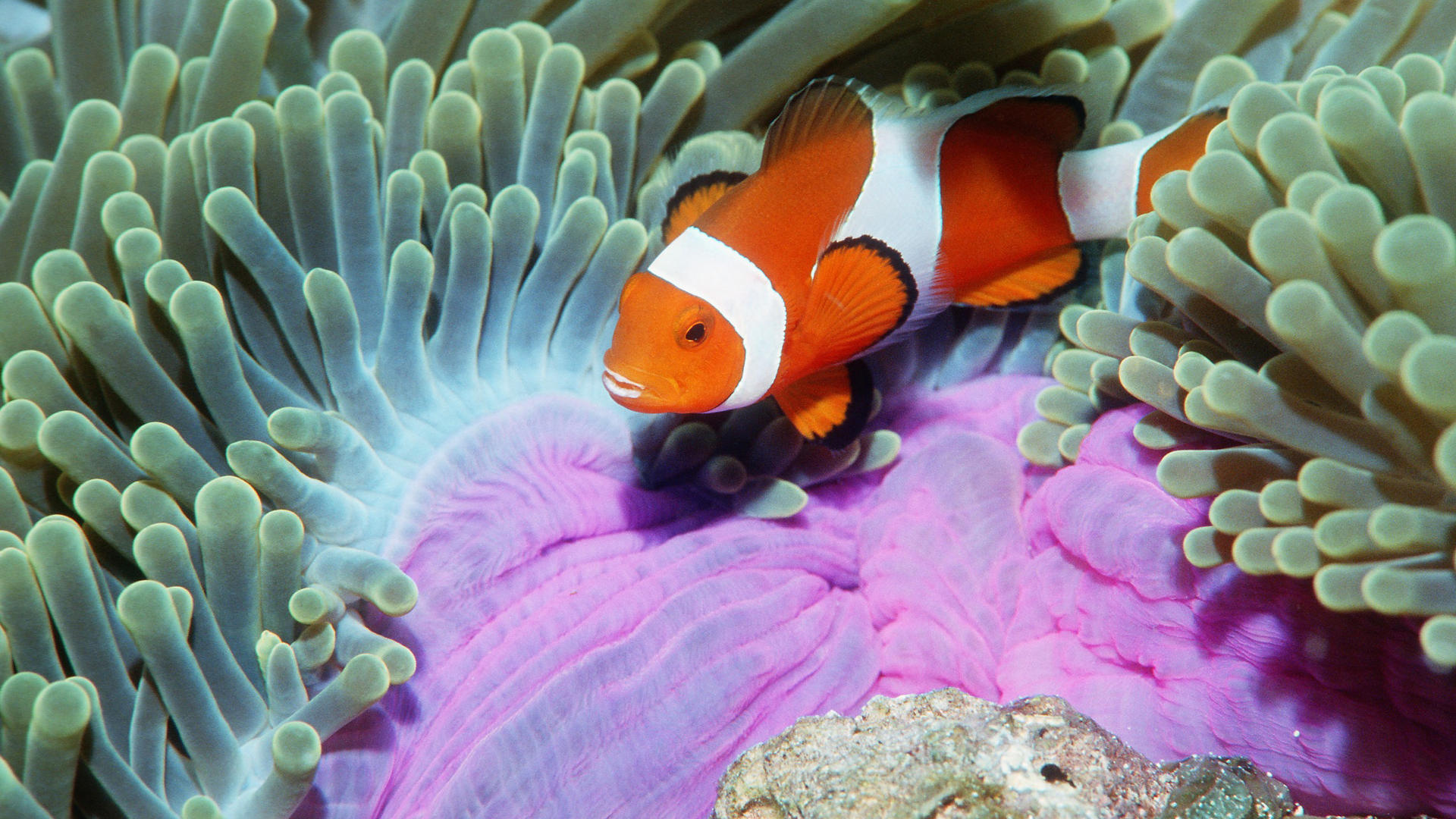on October 8 2015 By Stephen Comments Off on Clown Fish Wallpapers 1920x1080