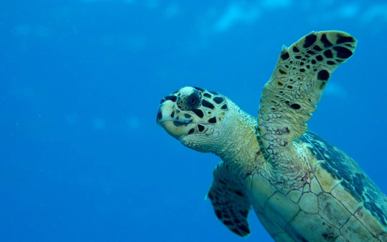 Sea Turtle 1280x800 WallpapersTurtle 1280x800 Wallpapers Pictures 1280x800
