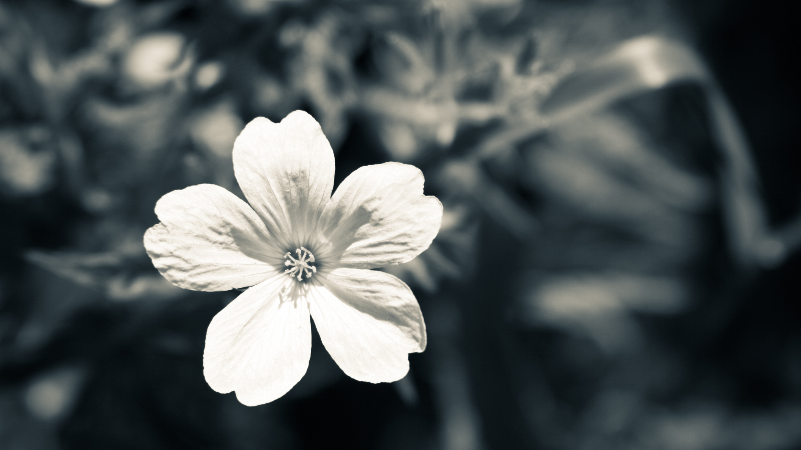 black and white flower iphone wallpaper walljpegcom 2560x1440