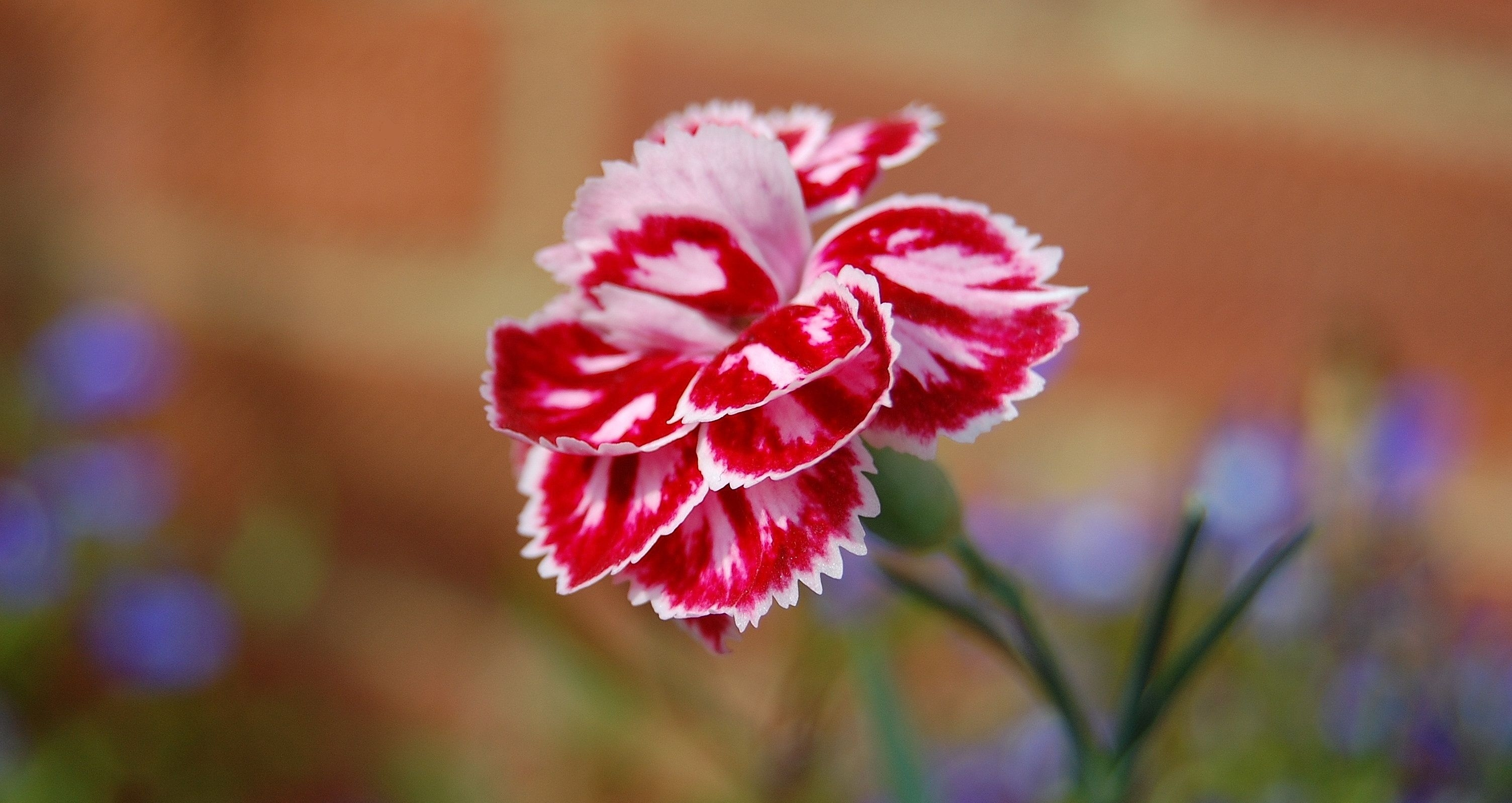 Dianthus Flower HD Wallpapers Download 3008x1598