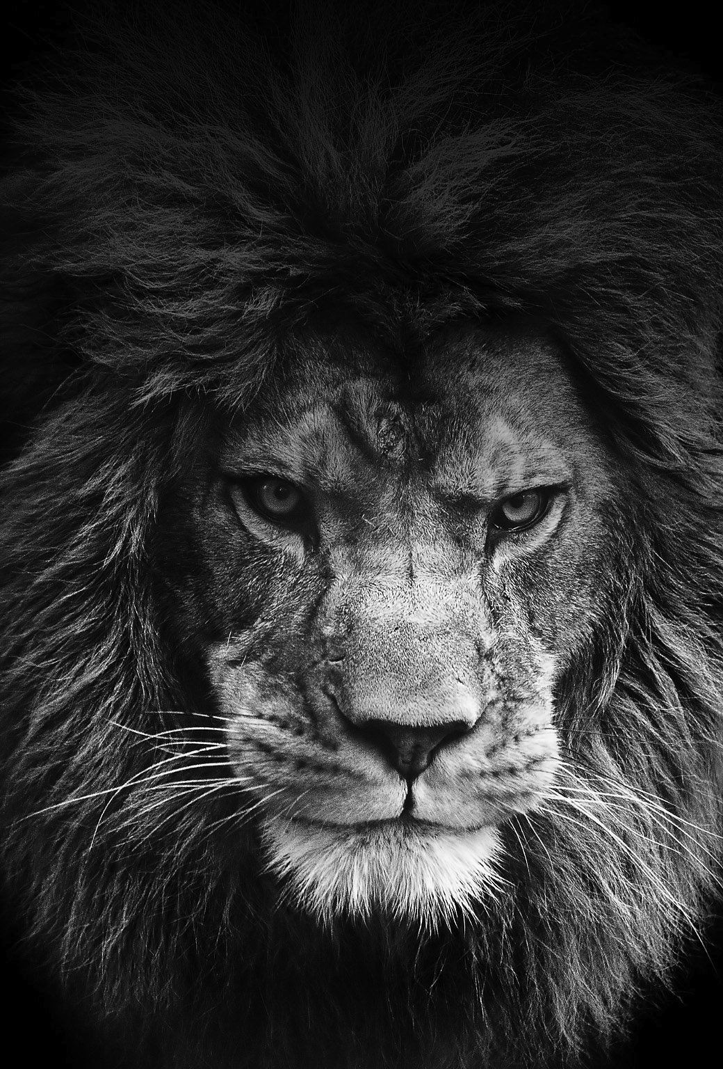 Free Download Lion Wallpapers For Iphone And Ipad 1040x1536 For