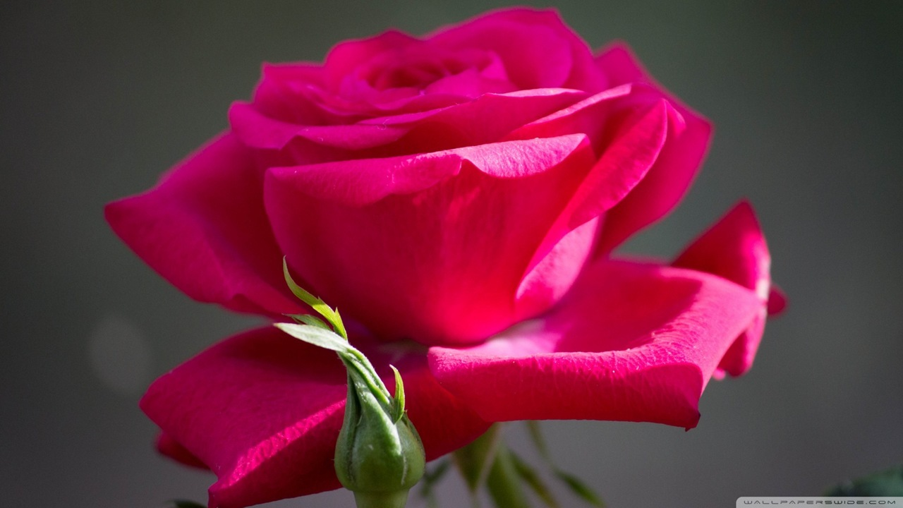 1280x720px Red Rose Wallpaper Free Download Wallpapersafari