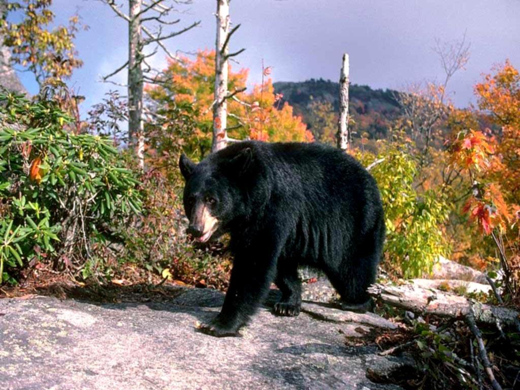 Black Bears Returning to the Black Hills 1024x768
