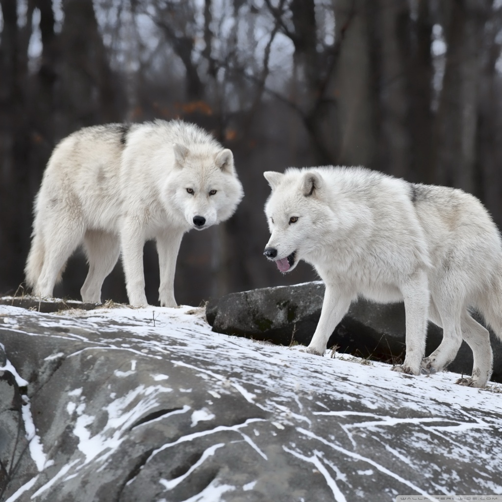 Wolf Puppies Wallpaper For Computers