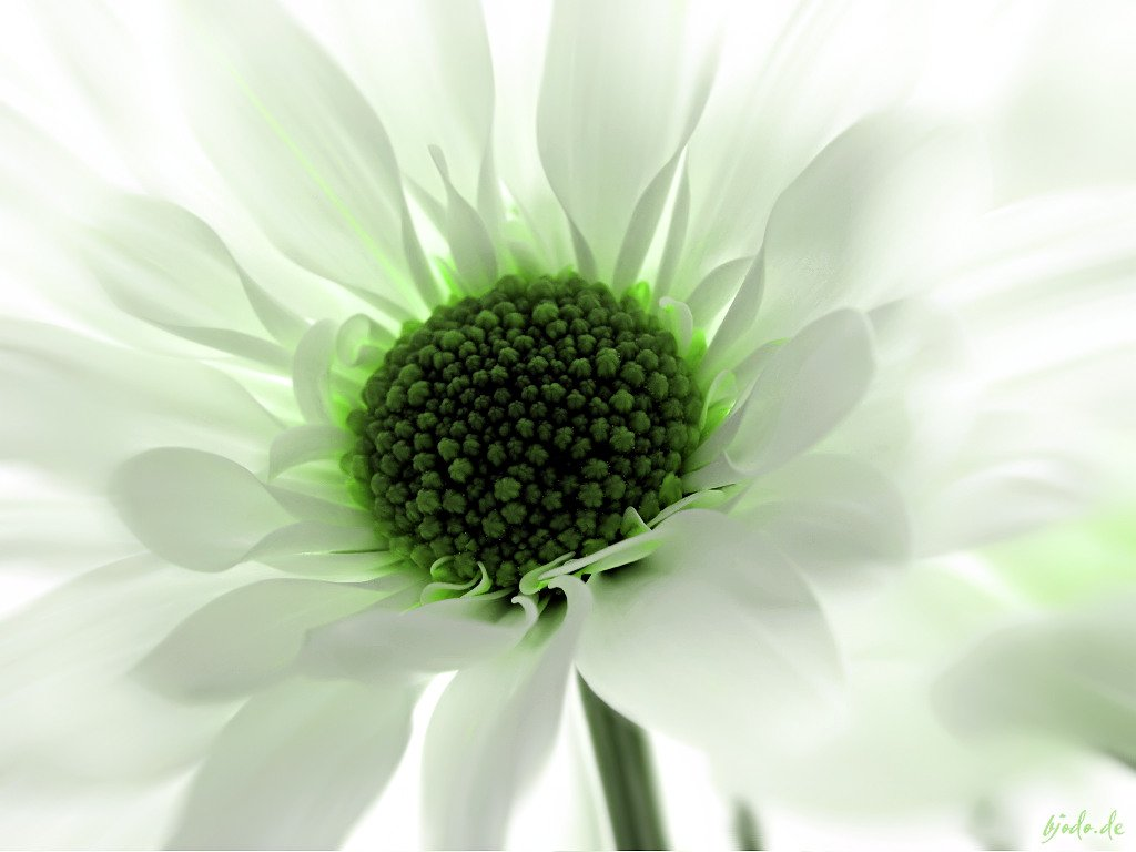 green flower wallpaper  wallpapersafari, Beautiful flower