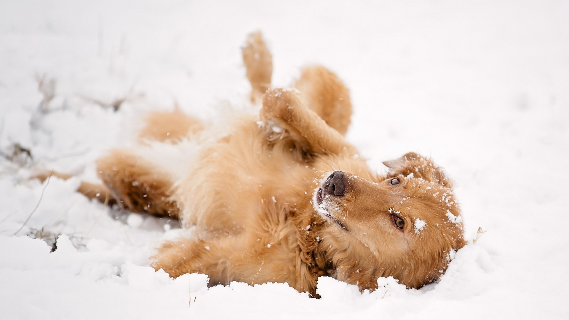 Red dog lying in the snow wallpapers and images   wallpapers pictures 1920x1080