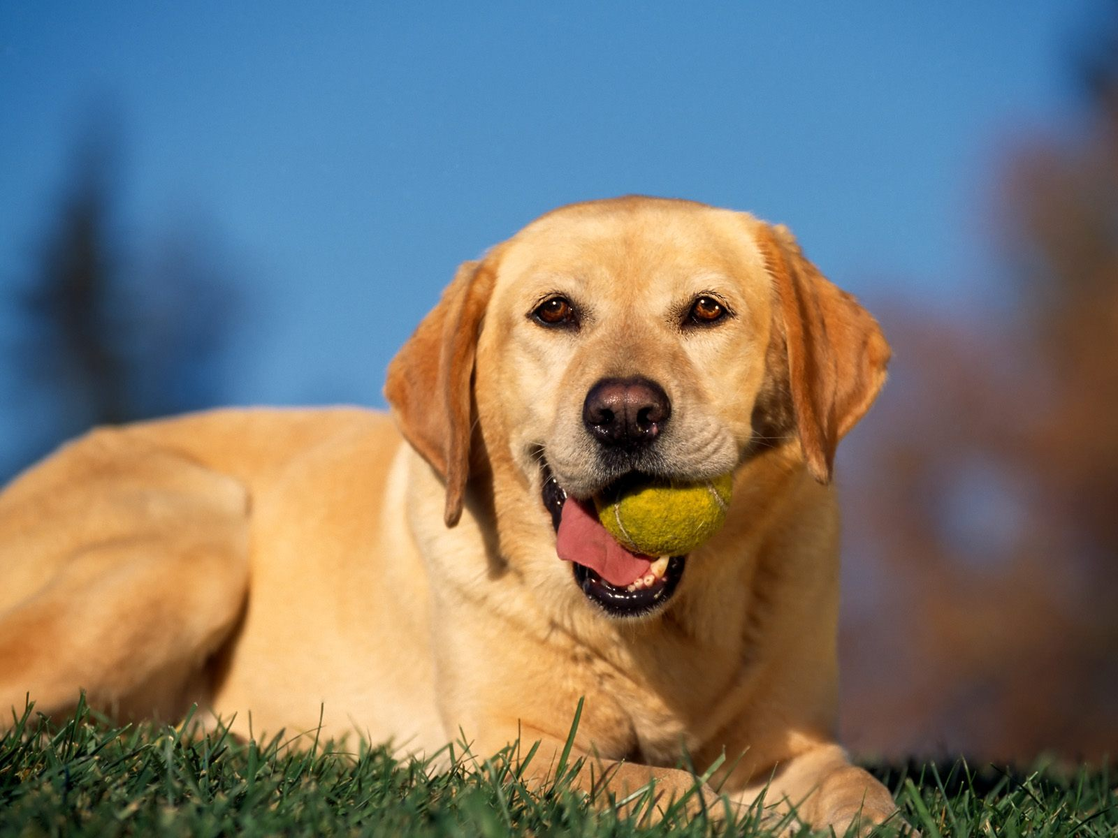 Break Time Yellow Labrador Wallpapers HD Wallpapers 1600x1200