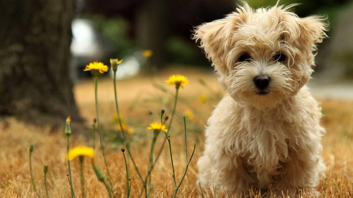 Wallpapers Cute Puppies   Puppies Wallpaper 1366x768