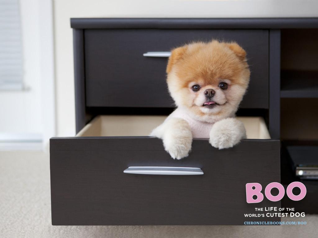 Boo The Worlds Cutest Dog Wallpaper PeekaBoo Kawaii Wallpapers 1024x768