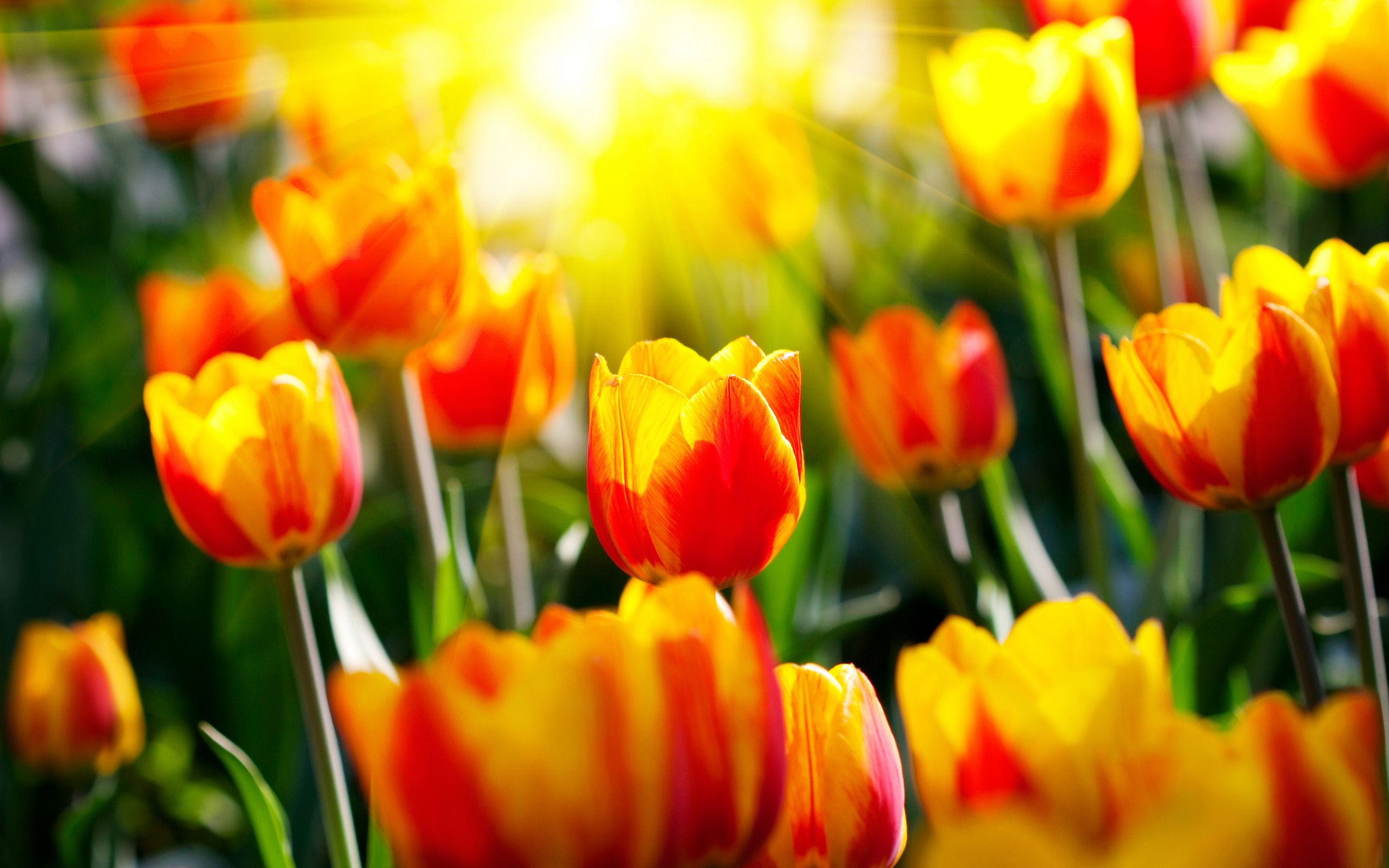 [42+] Tulips Wallpaper For Desktop On WallpaperSafari