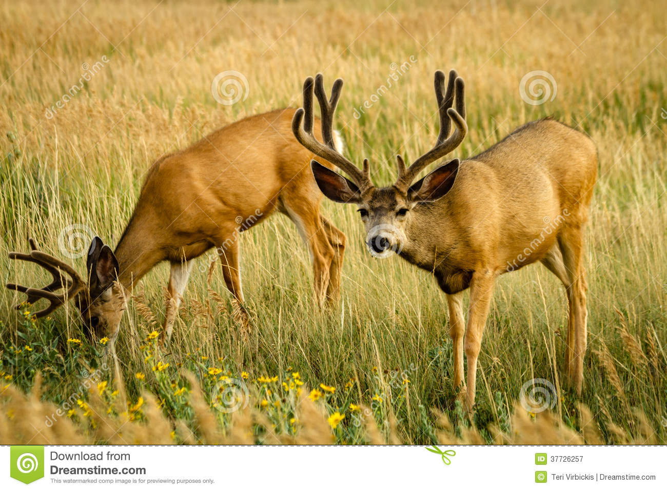 free mule deer wallpaper wallpapersafari