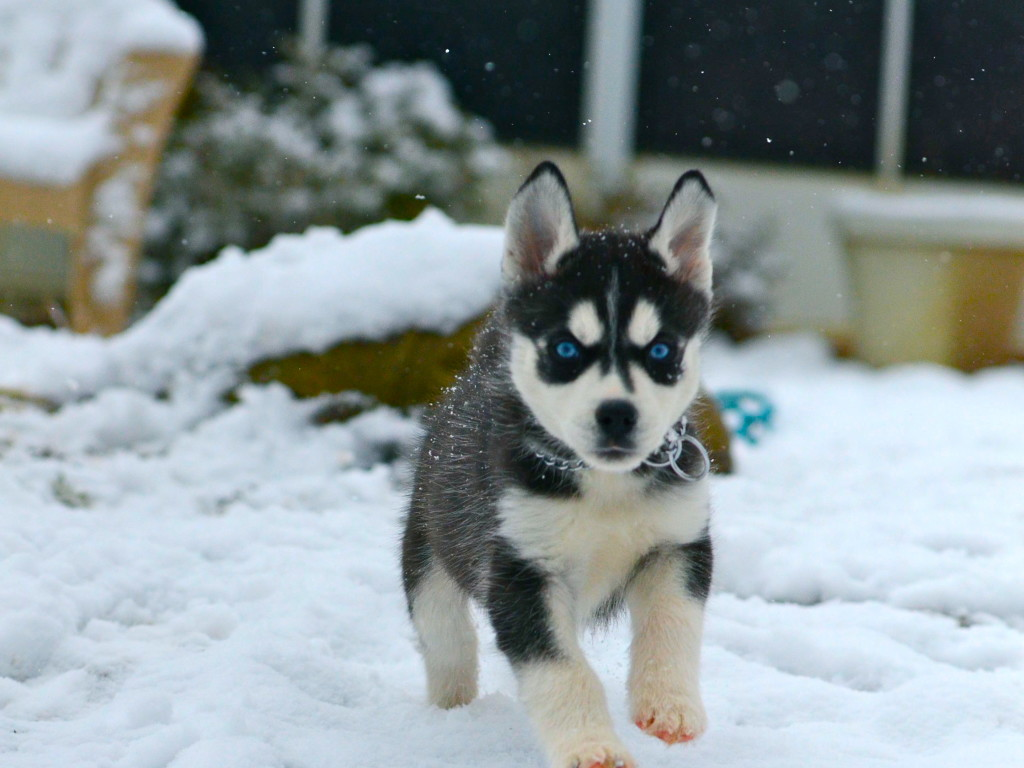 Puppies In Snow 1024x768   The Dog Wallpaper   Best The Dog Wallpaper 1024x768