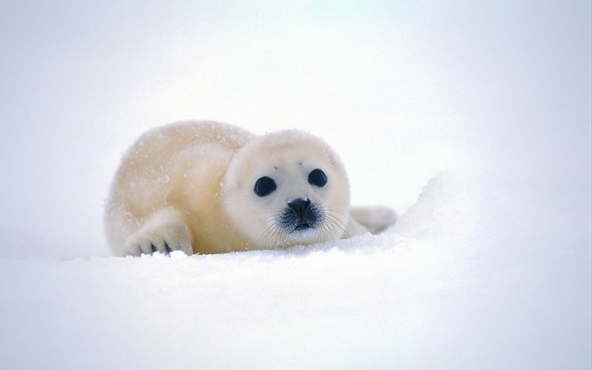 seals animals backgrounds antarctica baby animals wallpaper background 1920x1200