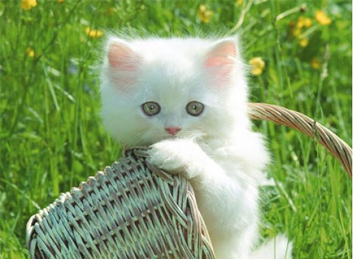 free cute kittens wallpapers enjoy cute kittens wallpapers for your 500x366