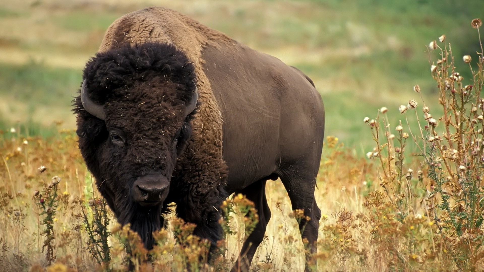 buffalo hd wallpapers Desktop Backgrounds for HD Wallpaper 1920x1080