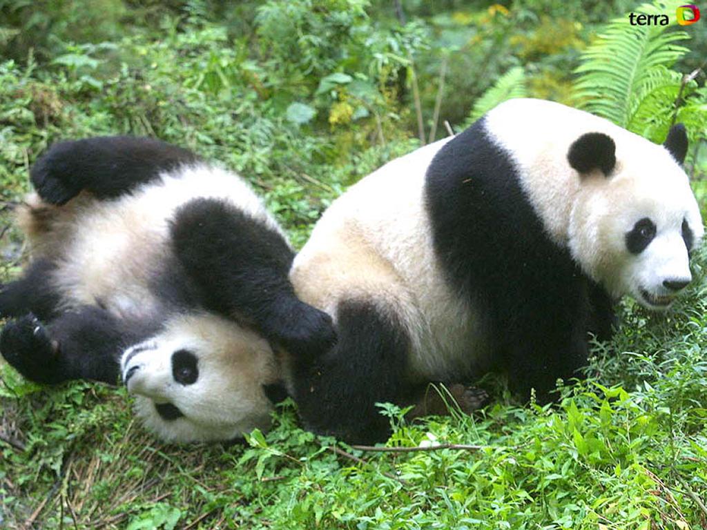 Funny panda wallpaper desktop Funny Animal 1024x768