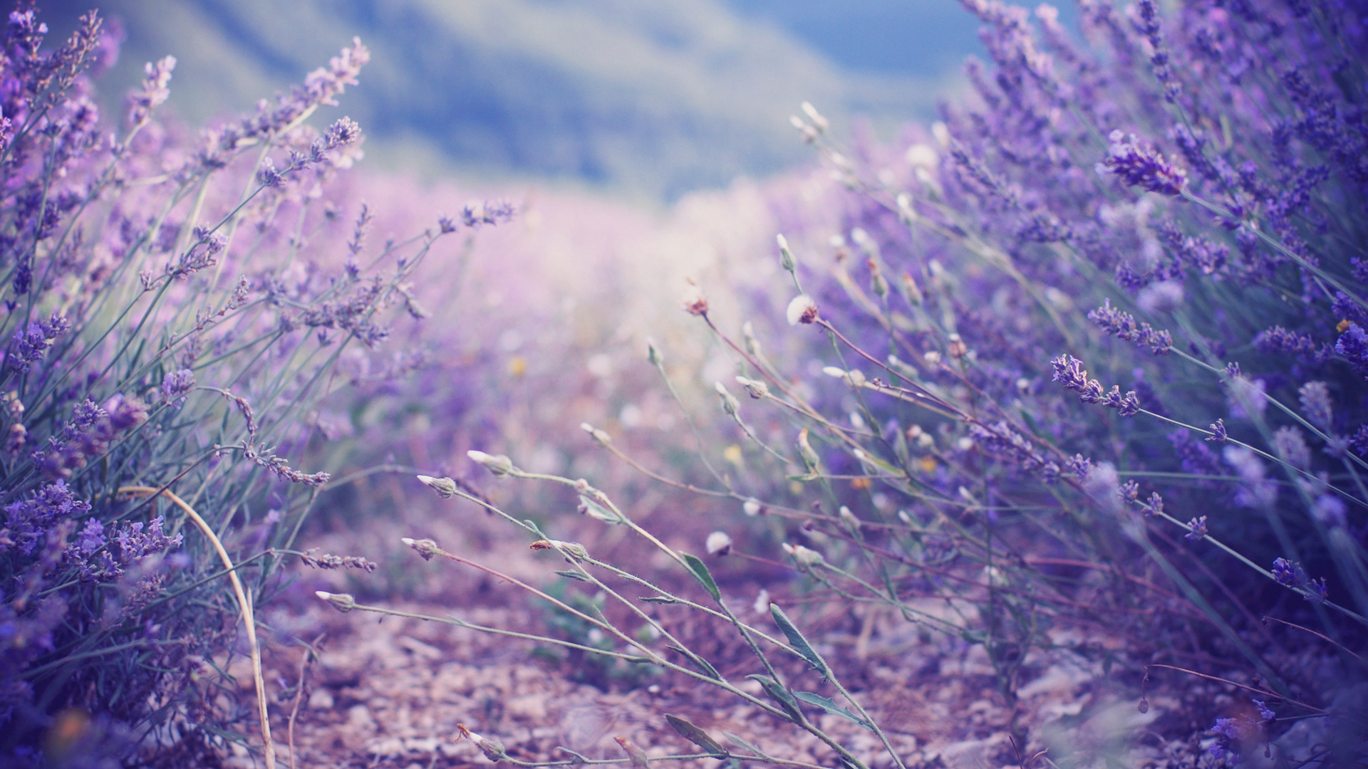 Lavender Flowers Wallpapers   Wallpaper High Definition High Quality 1920x1080