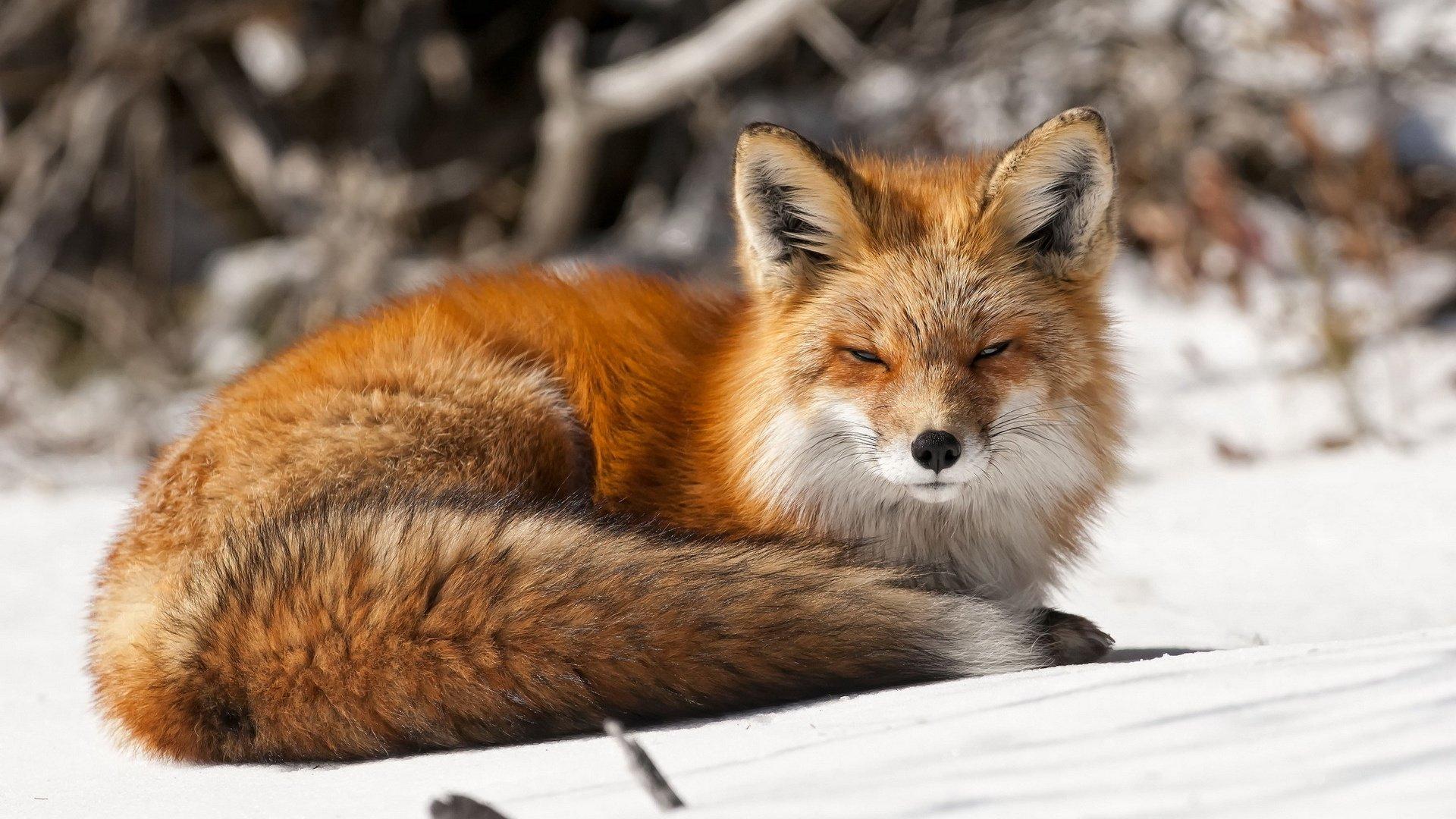 Fox Wallpaper Hd Wallpapersafari