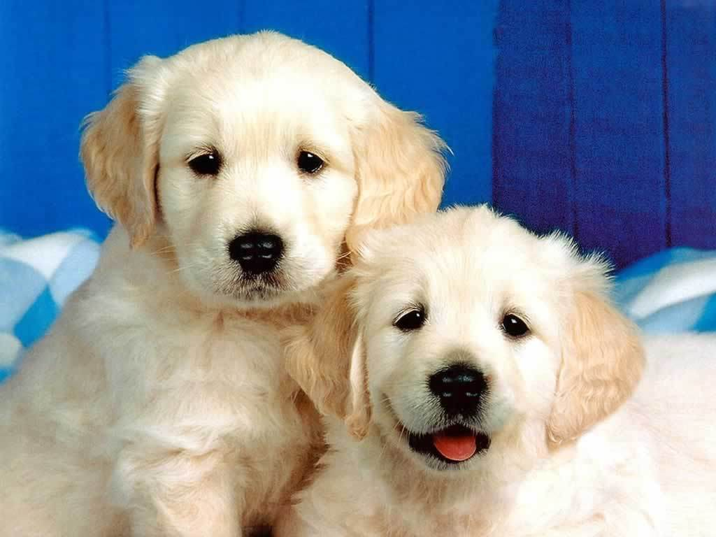 Cute Two White Puppy Dog Wallpaper Wallpaper ME 1024x768