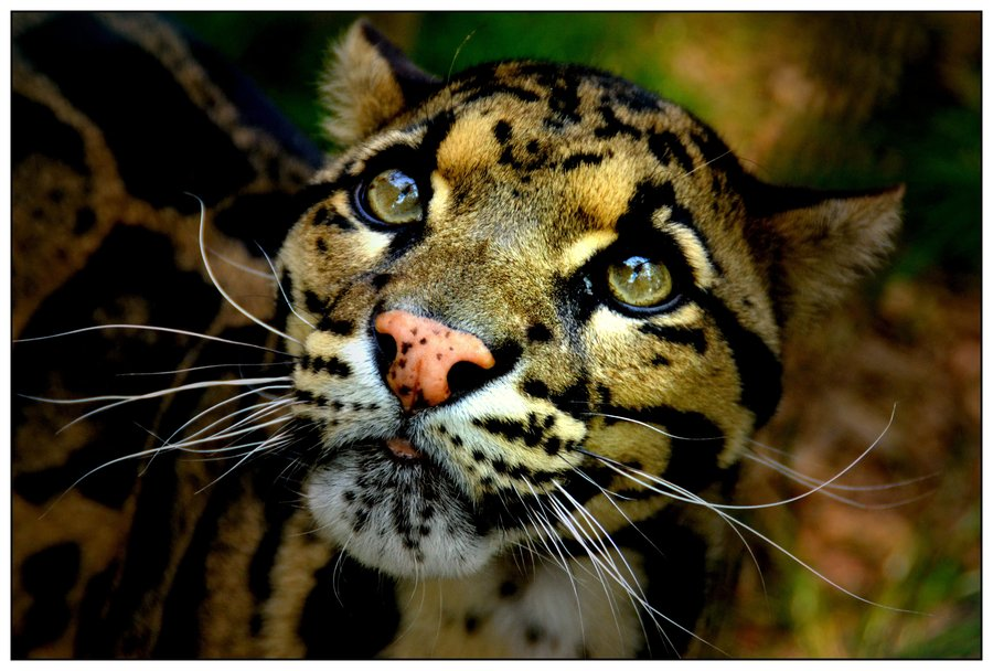 CLOUDED LEOPARD photos   wallpapers the fun bank 900x608