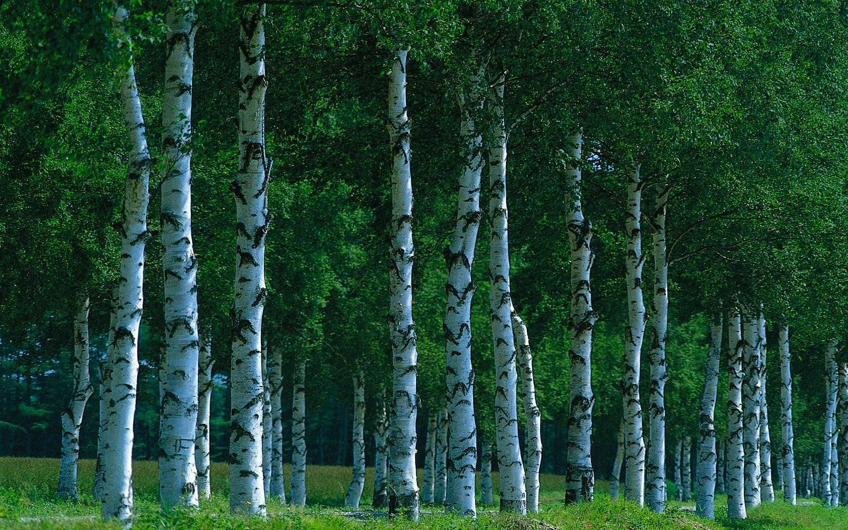 Birch Trees wallpapers Birch Trees stock photos 1680x1050