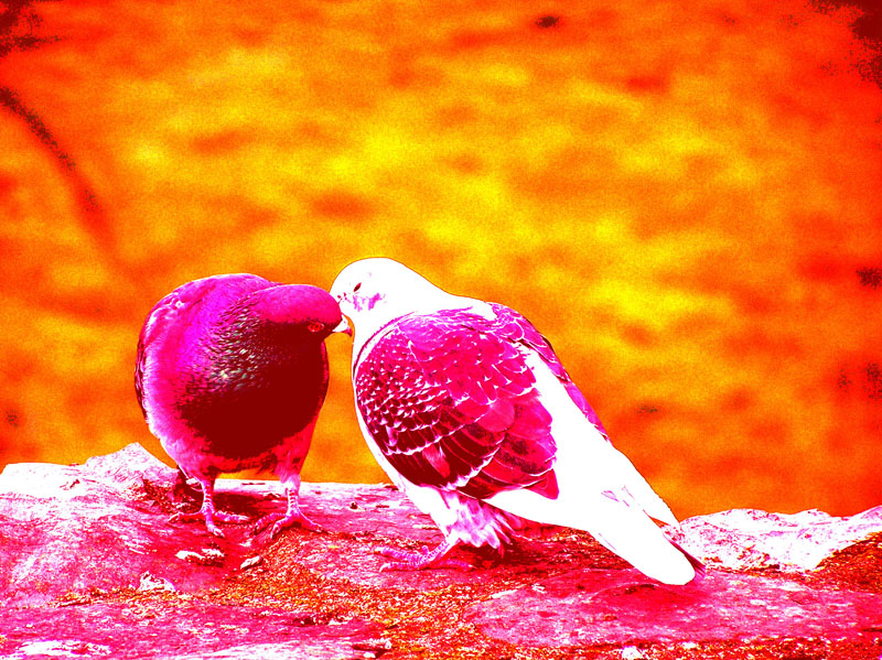 Free Download Hd Wallpapers Love Birds 800x599 For Your Desktop