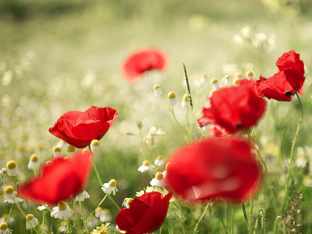 wallpapers Poppy Flowers Desktop Wallpapers 1024x768