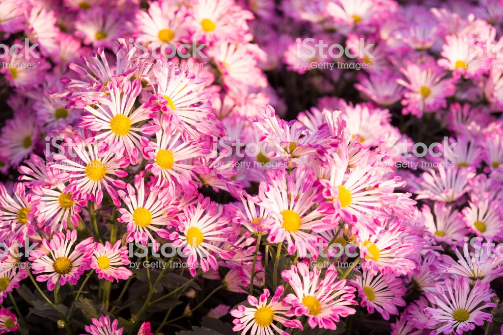 Beautiful Purple Mums Or Chrysanthemums For Flower Background 1024x683