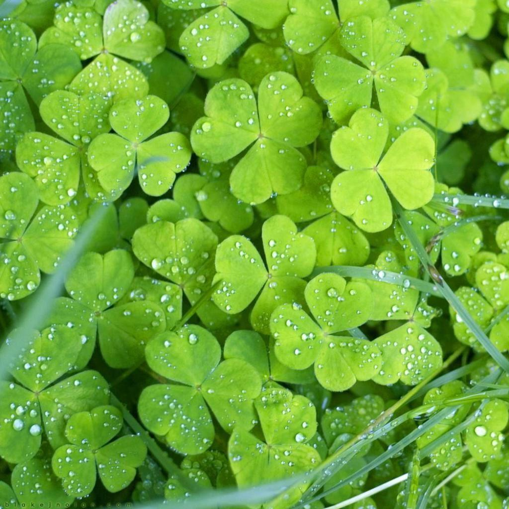 Four Leaf Clover Wallpapers 1024x1024