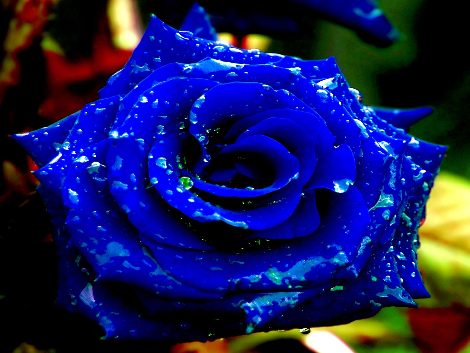 48 Blue Rose Wallpaper Hd On Wallpapersafari