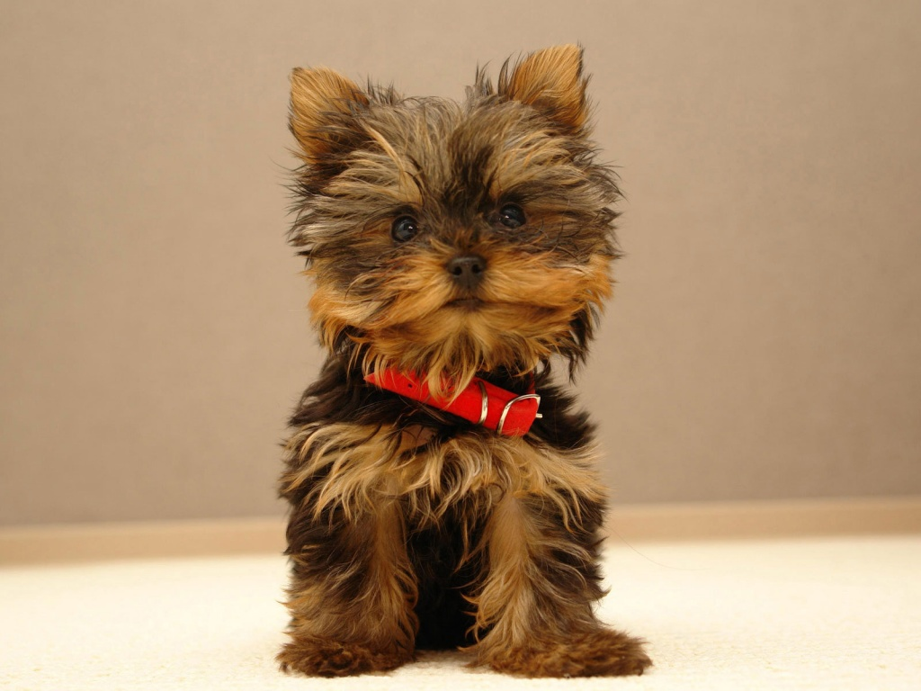 Online Wallpapers Shop Cute Puppy Pictures Puppy Wallpaper Images 1024x768