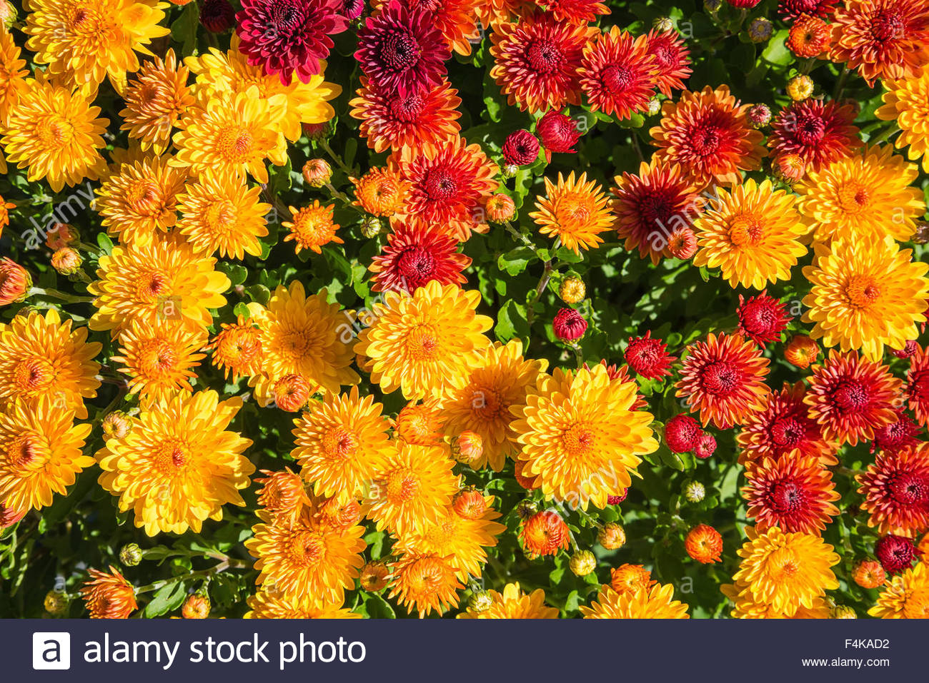 Colorful Autumn Mums or Chrysanthemums for flower background Stock 1300x957