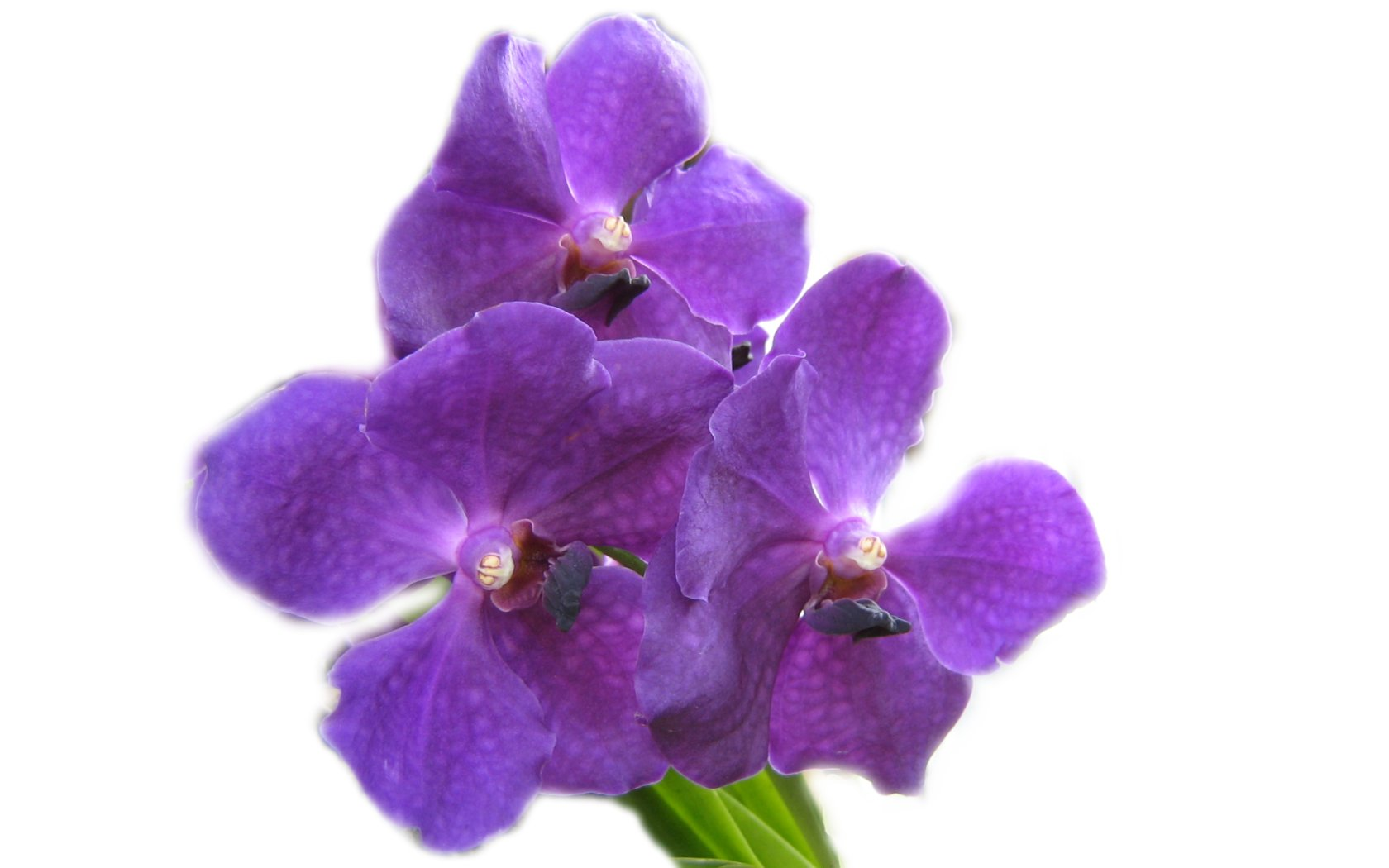 Purple Orchids Flower Wallpaper Pic 21   AxSoris 1680x1050