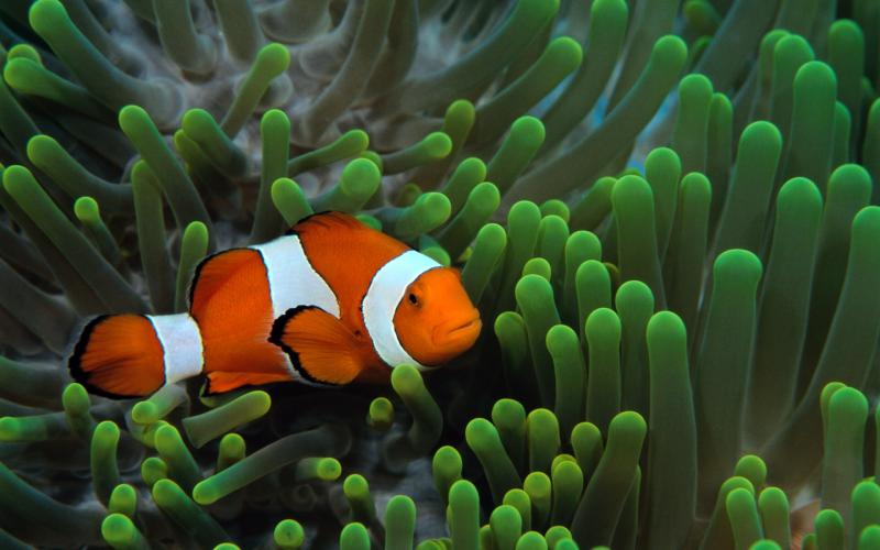 Fish Clownfish Underwater Widescreen 800x500