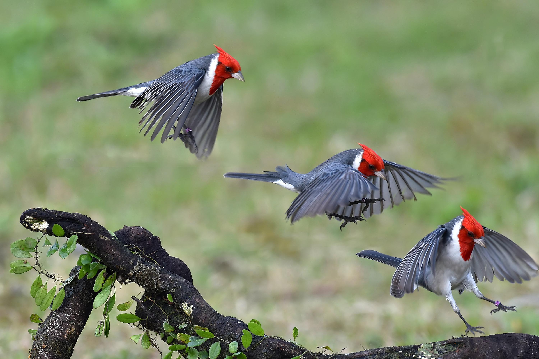 Animal   Red Crested Cardinal Landing Flight Bird Cardinal Wallpaper 3000x2000