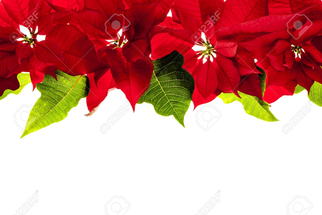 Christmas Border Of Red Poinsettia Plants Isolated On White 1300x866