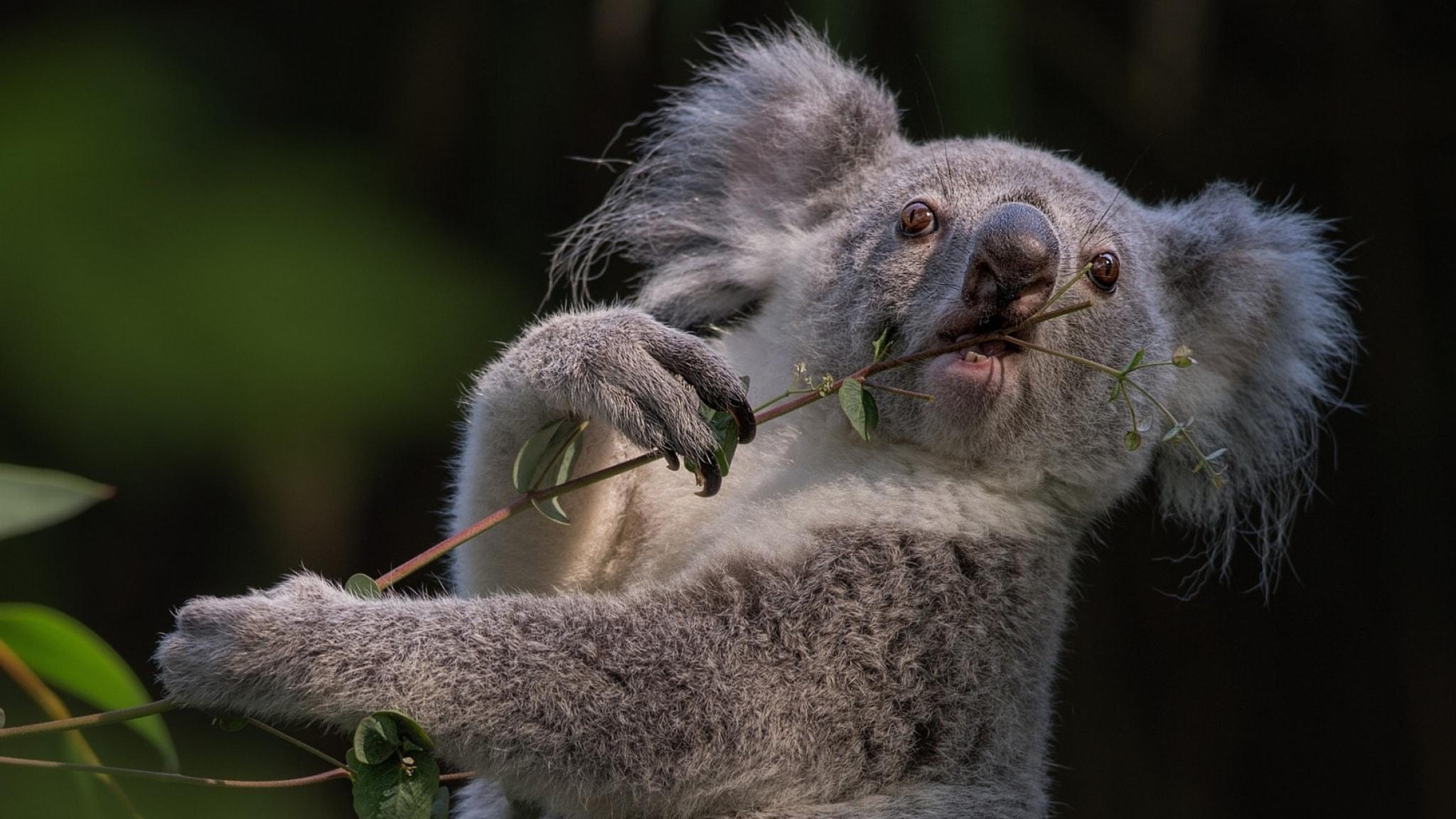Koala HD Desktop Wallpapers | 7wallpapers.net