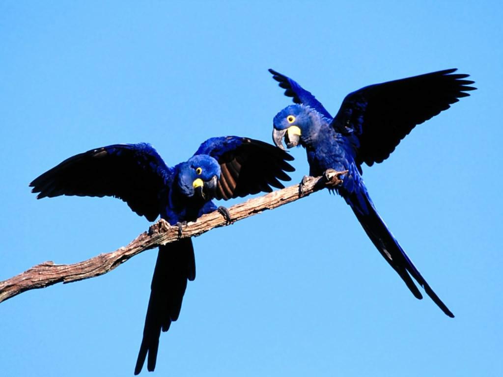 blue bird wallpaper 1024x768
