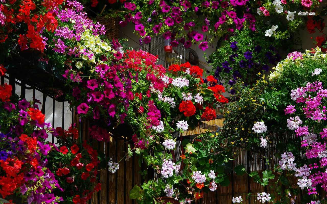 Wallpaper HD geranium garden 1280x800 flower wallpaper 1280x800