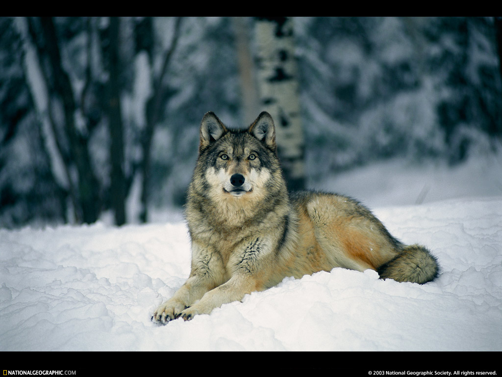 Resting Gray Wolf Picture Resting Gray Wolf Desktop Wallpaper 1024x768