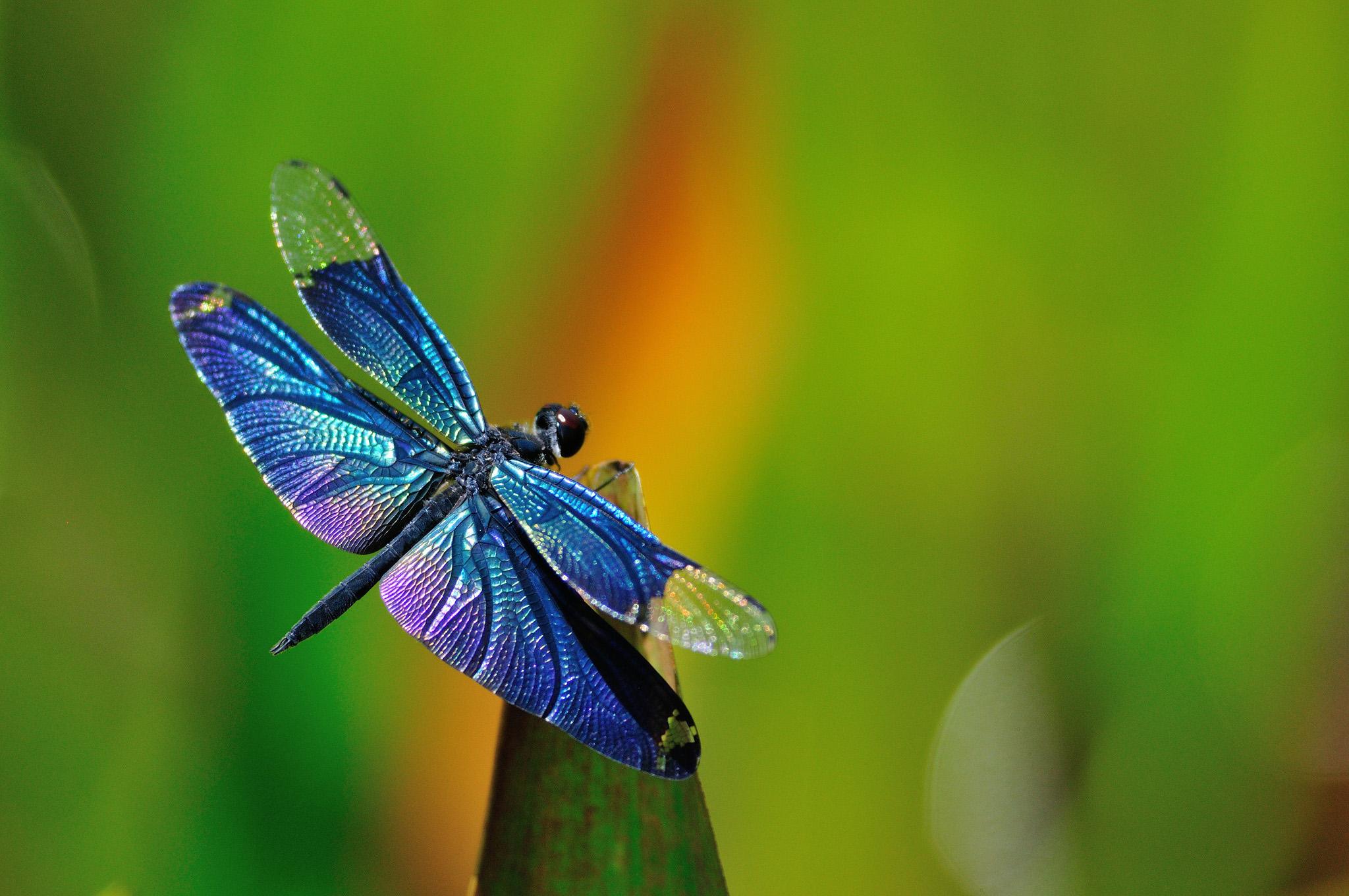 Dragonfly background 2048x1360