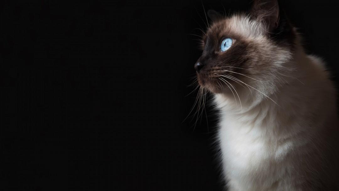 Blue Eyes Grumpy Cat HD Wallpaper 1080x607