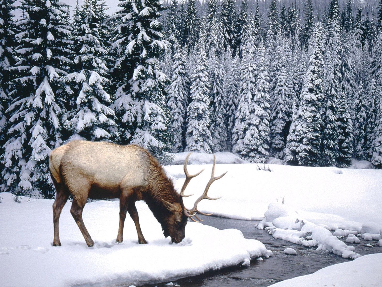 Winter Scenes Animal 1600x1200 Wallpapers 1600x1200 Wallpapers 1600x1200
